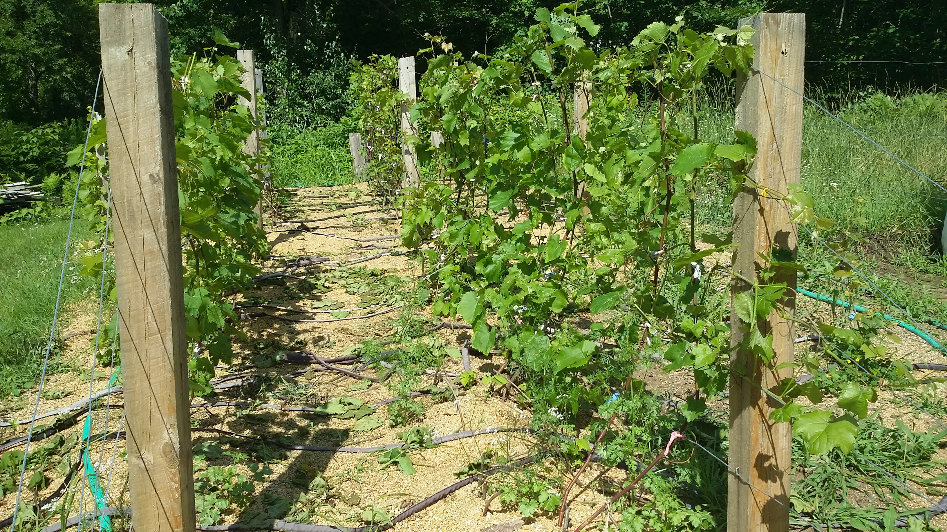 Tie Vines To A Grape Trellis Mary G Holland